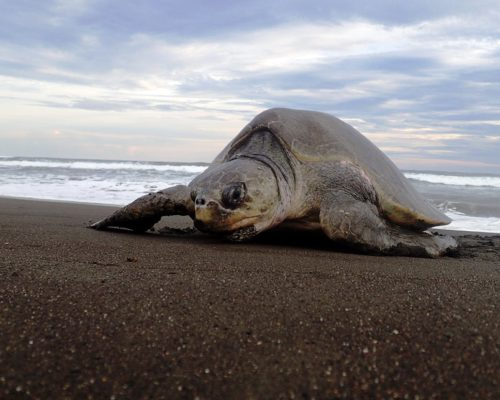 sea turtle nesting costa rica